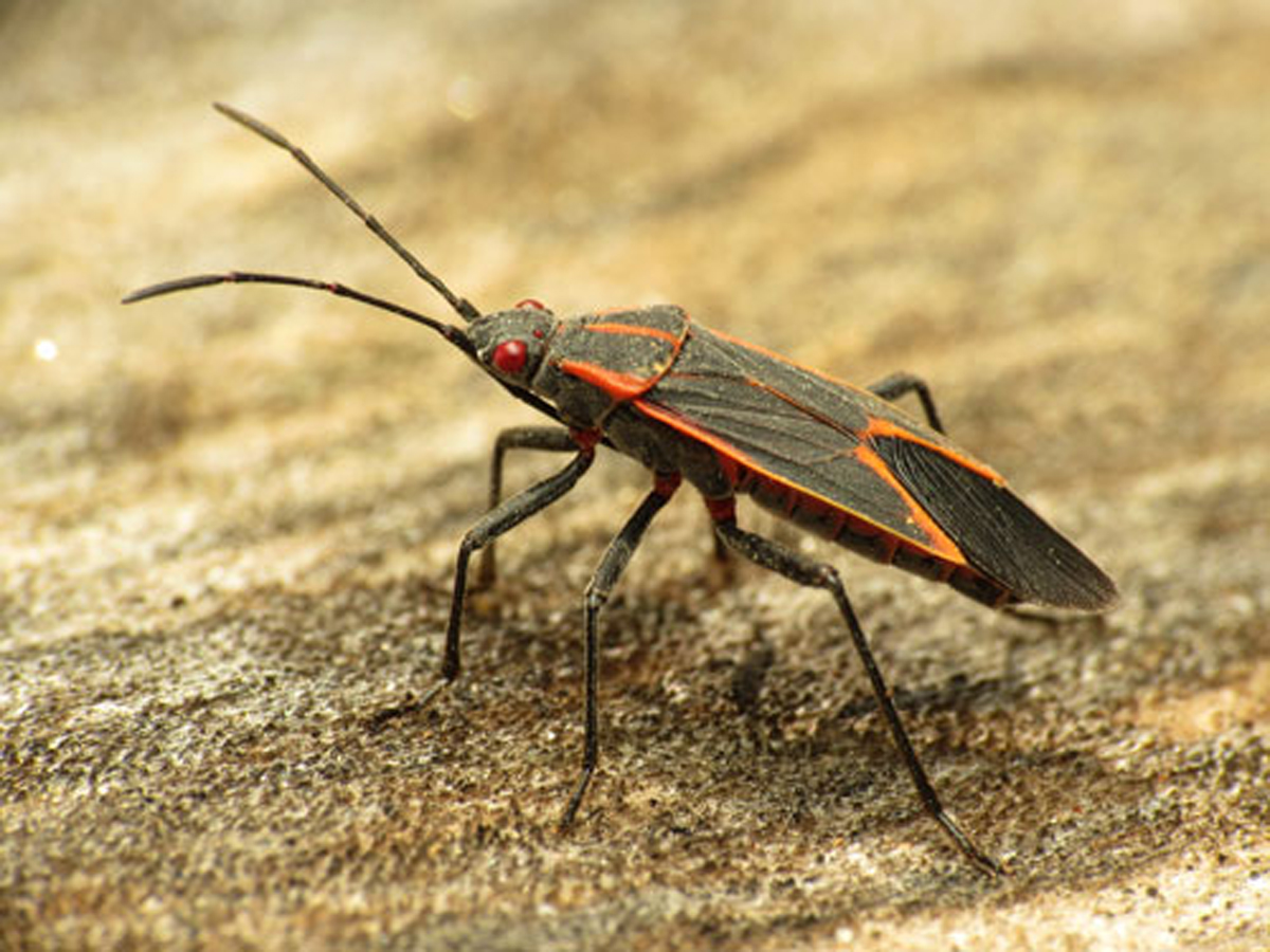 Everything You Never Wanted to Know About the Boxelder Bug
