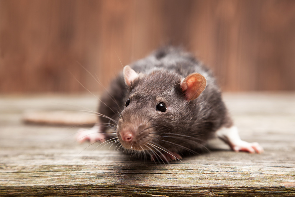Protect Your Minnetonka Home From Mice, Rats, and Other Pests Looking to Move In This Winter