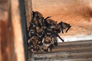 Get Rid Of Bats In Your Home